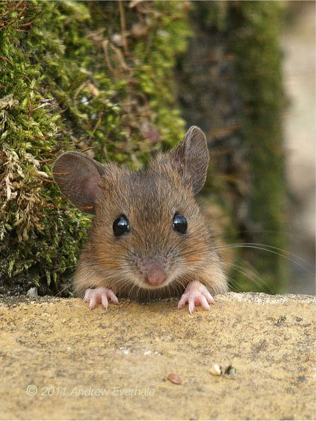 Wood Mouse - love his beady little eyes!