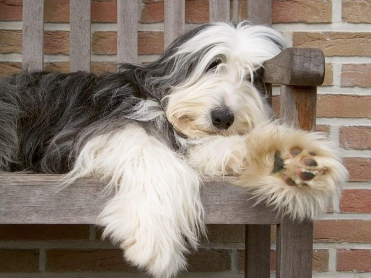 bearded collie: Favorite Beardi, Adorable Dogs, Beards Collies Puppys, Animal Photography, Dogs Breeds, Pet, Google Search, Bearded Collie, Collies Dogs