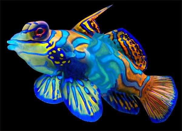 Amazing color the mandarin fish exotic freshwater and for Colorful freshwater aquarium fish