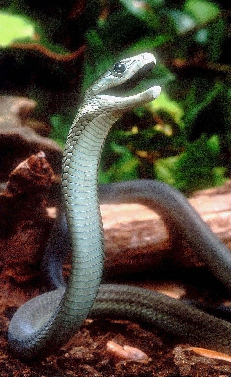 Black mamba (Dendroaspis polylepis) in defensive posture. Photo taken by Bill Love, Blue Chameleon Ventures