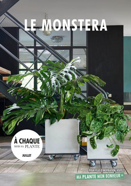 Every month his plant July 2019: the monstera  Lazy gardener – Climbing plants