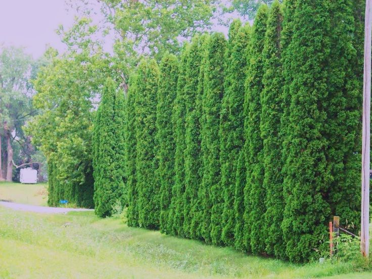 Privacy trees arborvitae providing some real dense and for Backyard privacy landscaping trees