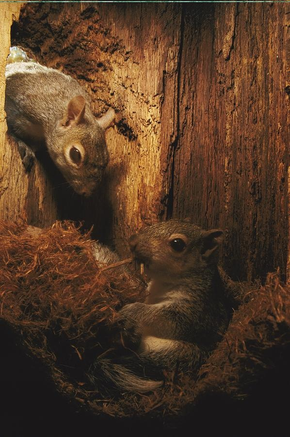 Baby Eastern Gray Squirrel Sciurus Photograph