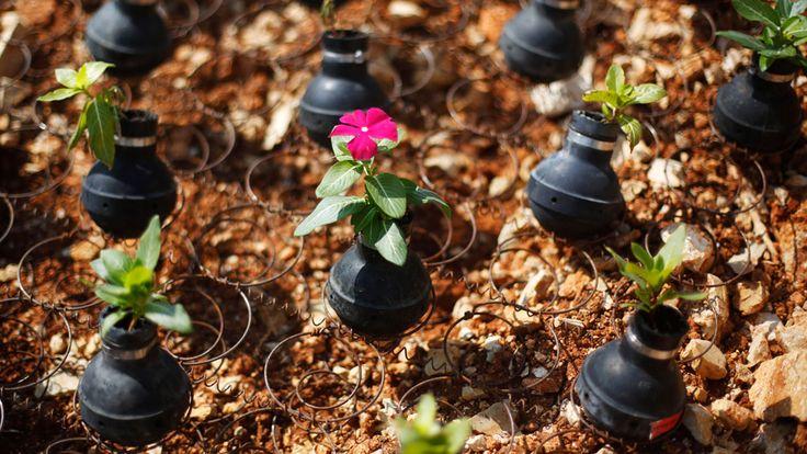Gebrauchte Tränengasbehälter dienen im palästinensischen Dorf Bil'in nahe Ramallah im Westjordanland als Blumengefäße.