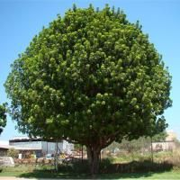 Harpephyllum Caffrum Wild Plum Wilde Pruim 6-10 m (15) S A no 361 Cape Garden Centre