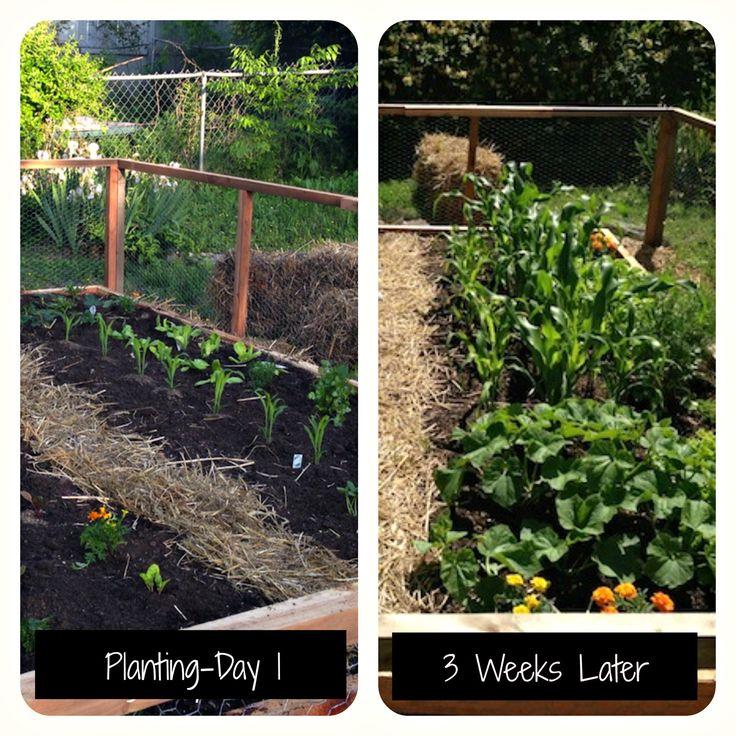 Backyard Farming Guide : 1000+ images about Backyard Farming ? Gardening on Pinterest  Salsa