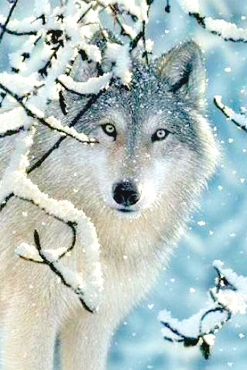 gorgeous wolf in snow picture.