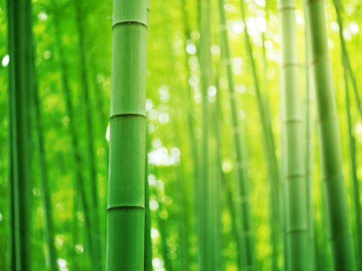 El bambú es originario del continente asiático. China e India son los mayores productores de esta planta que ha transformado el mercado de la moda, medicina, arquitectura, diseño (entre muchas otras), y los hogares de millones de personas en el mundo.Actualmente en México, las principales plantaciones de bambú se encuentran en Chiapas, Veracruz, Puebla, Tabasco y Sinaloa, las cuales suman cerca de 7 mil hectáreas.