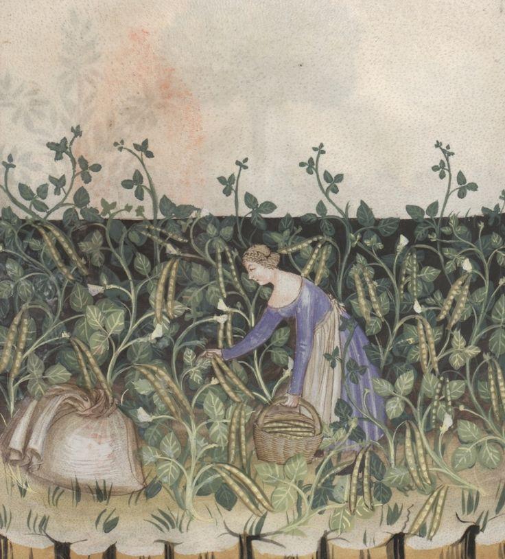 Woman harvesting green beans - Faxioli | Österreichische Nationalbibliothek - Austrian National Library | Public Domain