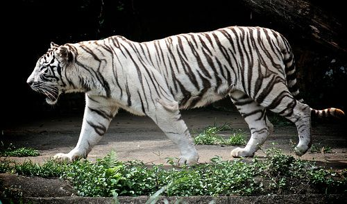 How I became a Murderer: The Story of a White Tiger