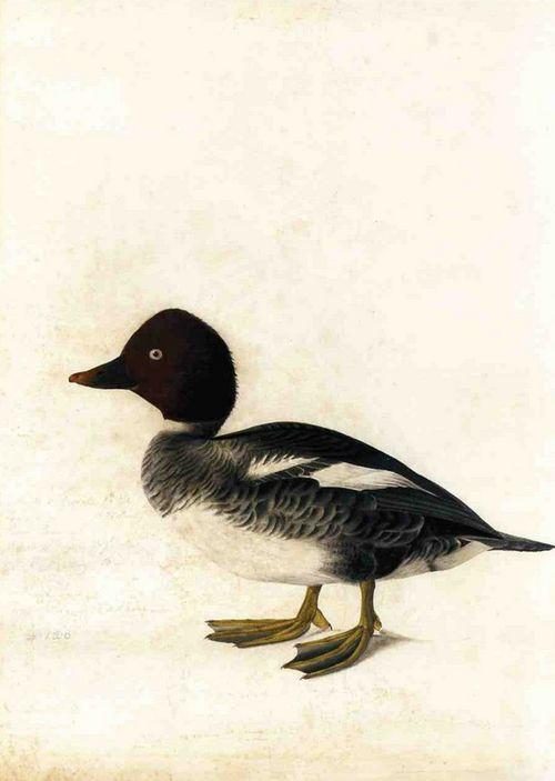 cavetocanvas:John James Audubon, Redhead Duck, n.d. - http://31.media.tumblr.com/tumblr_m6d085dw5A1qghk7bo1_500.png