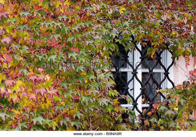 House wall and window covered with vines in autumn. - Stock Image
