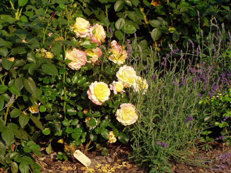 02.09.2016 – Rose der Hoffnung