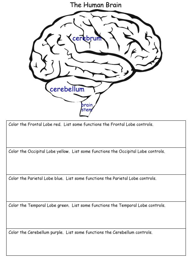 The Human Brain Worksheets | Homeschool Helper Online's Free Human Brain Worksheet Worksheet