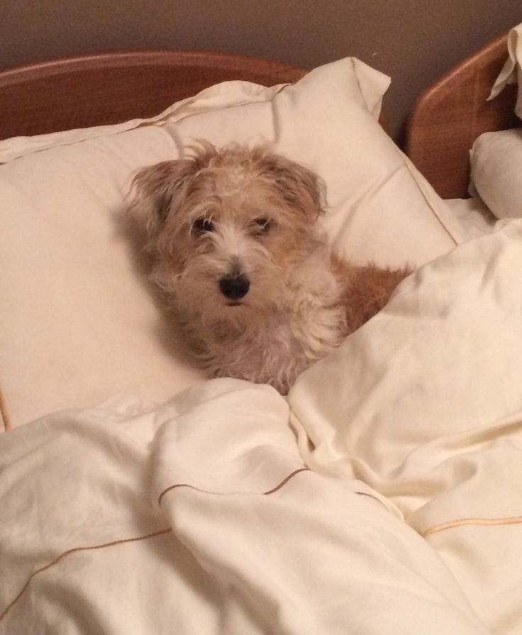 Think this bed is mine. Sporting Lucas Terrier - Tattie