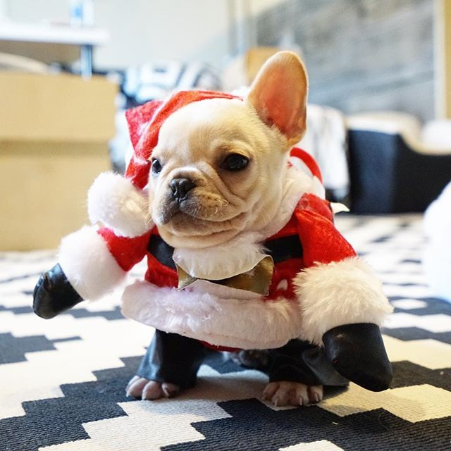 """""""Ho, ho, ho""""... """"now get me outta this Santa Suit!"""", poor Leo, the French Bulldog Puppy, @frenchieleo on instagram."""
