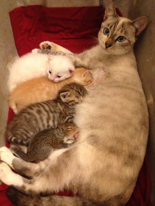 Cat gives birth to litter before adopting baby squirrel