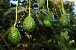 TWA-0065055 © WestPix COUNTRYMAN. Some of the avocados in Russell Delroya's Pemberton orchard. The coming season is tipped to be almost twice as big as the previous record harvest. PHOTO: DANELLA BEVIS