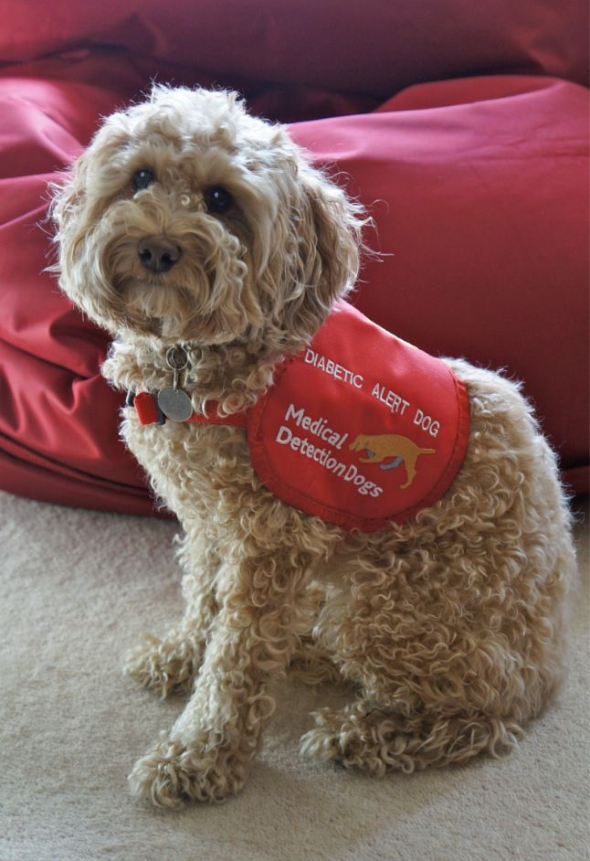 how to train dog to alert for diabetes