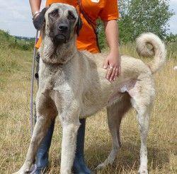Khel  vaa17323, Chien berger d'anatolie (kangall) à adopter