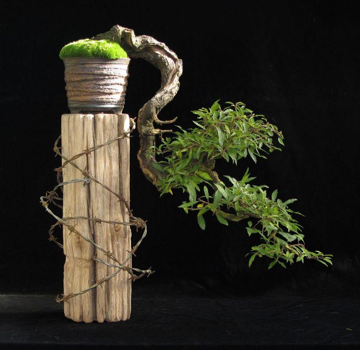 Blackthorn Bonsai