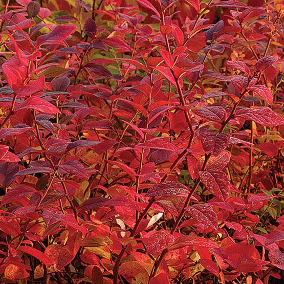 Vaccinium corymbosum (Highbush blueberry - fall color) - Fine Gardening Plant Guide
