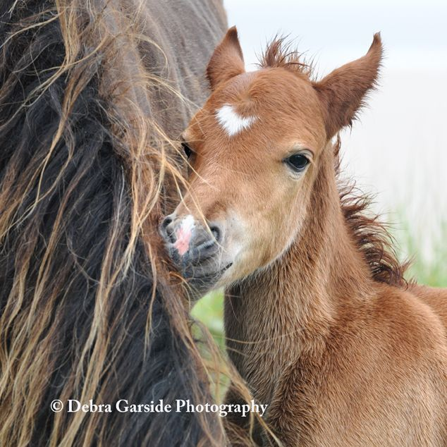 The Wild Horses of Sable Island ~ Debra Garside