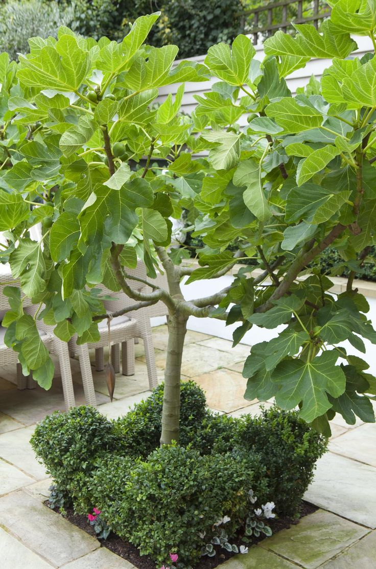 Fig contained within paved area. Leopoldina Haynes Garden