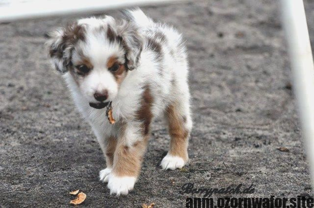 Most Current Screen Dogs And Puppies Miniatures Strategies Complete You Cherish The Dog Of Course Anyone Do Suit Puppies Aussie Puppies Australian Shepherd