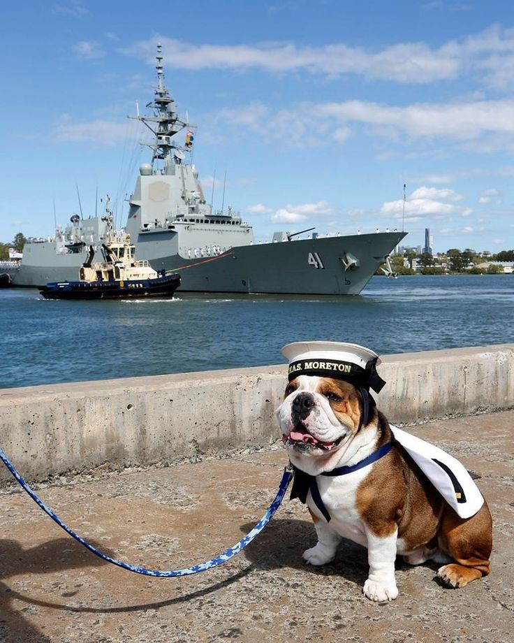 Royal Australian Navy Mascot British Bulldog Leading Seaman Hank