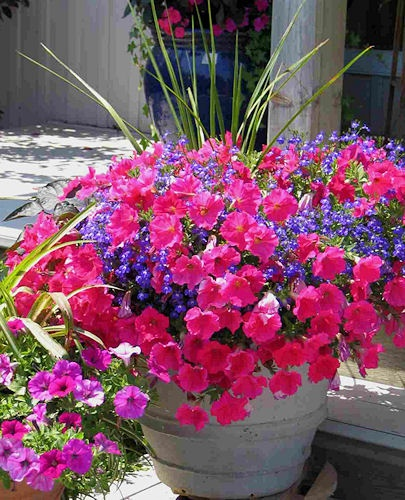 Spikes blue lobelia rose petunia garden outside fun things pinterest planters the - Growing petunias pots balconies porches ...
