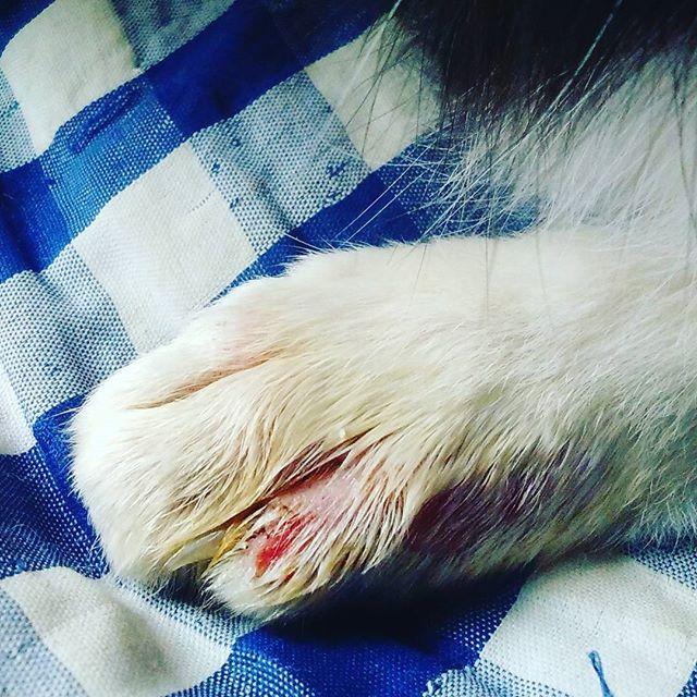 (`・∀・´)ゝおはよーです!! リキの今日の足の毛の状態です!  #猫 #CAT #고양이 #愛猫 #ハチワレ #オス猫 #リキ #去勢済 #肥大型心筋症 #大動脈血栓塞栓症 #決戦予防薬投与中 #抗血小板薬 #クロピドグレル錠 #再発後に左後ろ足に麻痺 #肉球の色 #再発の恐怖 #闘病中の猫 #靴下を履いている猫