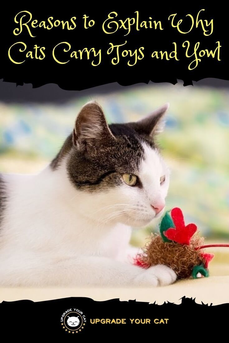 Cat Carrying A Toy And Yowling Here S Why Upgrade Your Cat In 2020 Cat Training Cat Behavior Cat Behavior Problems