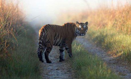 Tiger in Indian national park
