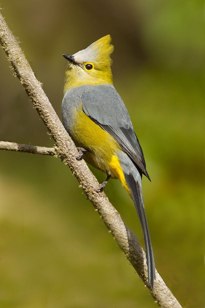 birds of a feather — Long-Tailed Silky Flycatcher. Photo by Jamie...