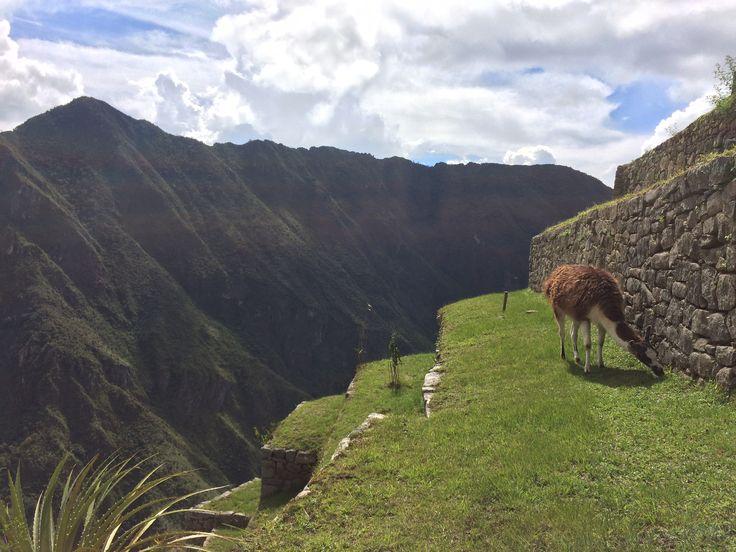 Llama, Perú