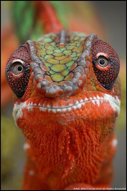 Fabulous shot of a Panther Chameleon. I have something similar to this in my backyard.