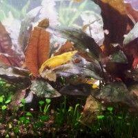 Yellow Fire Garnelen - Treuchtlingen - Bayern - Garnelen - Anzeigen - Welt der Aquaristik