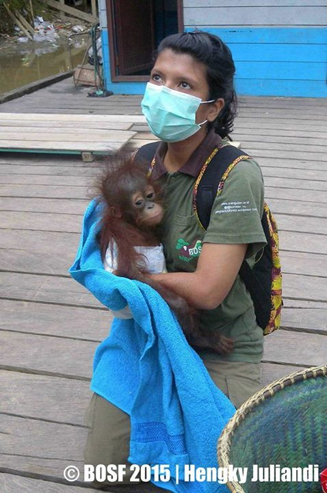 BOSF's 1st confiscation of 2015. 8-month old orphaned orangutan, given a second chance.
