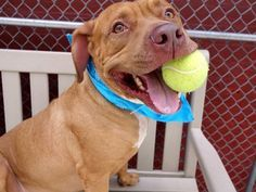 """Urgent, please share Chaz, to be destroyed 8/3/16! """"He allowed his autistic human brother to build his train tracks around him as he lay there."""" Can there be a better testimonial to the soft, gentle nature of Chaz? Surrendered due to NYCHA restrictions, we're told Chaz welcomed visiting children, lived with a small male senior dog and was relaxed and playful. Good with cats."""