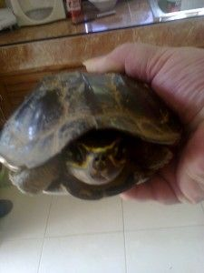 Asian Box Turtle or tortoise?
