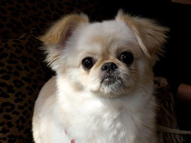 Pin By T Napo On Adoptable Pampered Pooches Chihuahua Mix Dogs