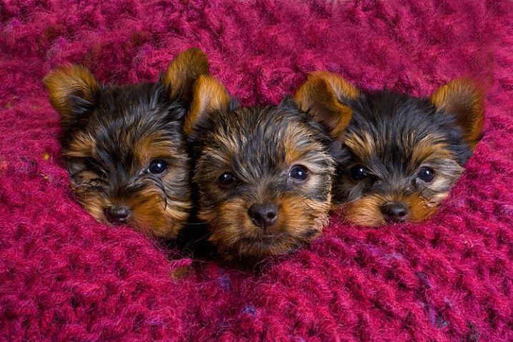 Yorkshire Terrier puppies by © Jim Zuckerman via corporatefineart.com