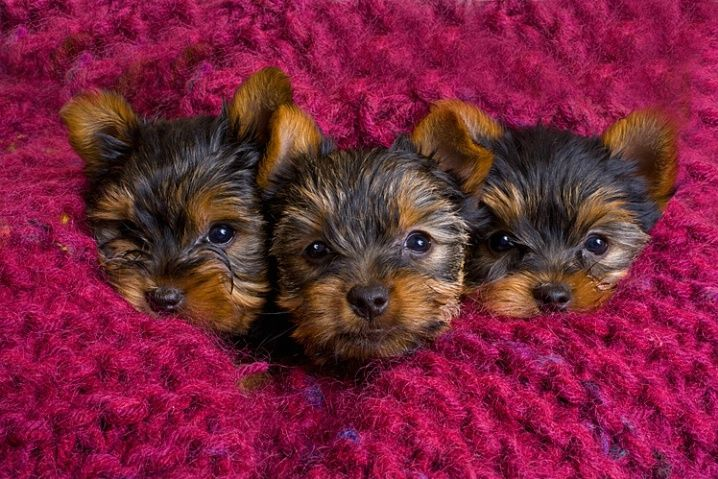 Yorkshire Terrier puppies by © Jim Zuckerman via corporatefineart.com