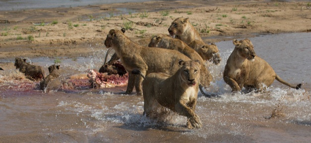 12- The lions scatter after being charged by the elephants - Gary Hill