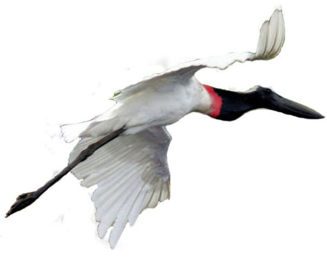 É um espetáculo ver uma  ave de tão grande porte batendo asas em voo - O Tuiuiú é a maior ave voadora da planície pantaneira. É uma cegonha; como tal, voa com seu pescoço e pernas esticados, ao contrário das garças e seus pescoços encolhidos durante o vôo. Com até 1,60m de altura e até 3m de envergadura (medida de uma ponta da asa aberta à outra), utiliza-se, principalmente, das correntes de ar quente ascendentes para voar.