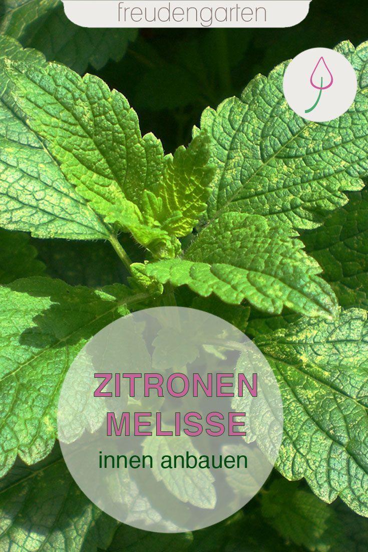 Zitronenmelisse Innen Anbauen Pflanzen Bepflanzung Zitronenmelisse