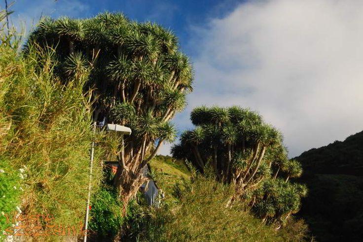 #LaPalma drzewa drago w La Tosca