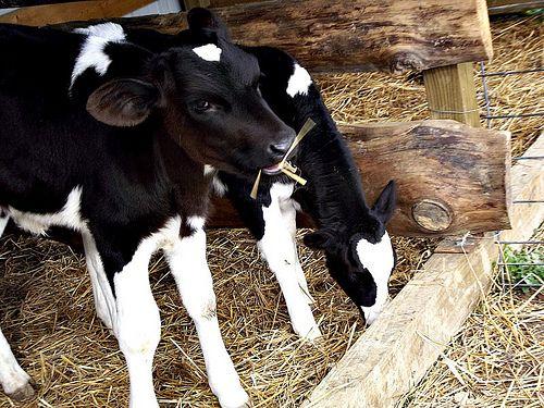 <3 Black and white calves <3