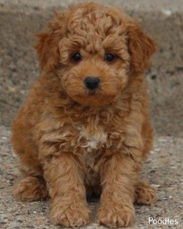 Poodles Smart Active And Proud Miniature Poodle Puppy Poodle